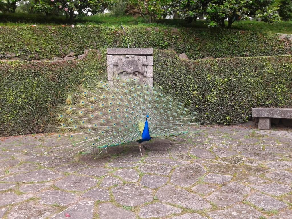 Pavo Real, Jardines del Palacio de Cristal, Oporto, Portugal, 2014